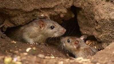 Não é só a leptospirose! Conheça 5 doenças mortais que os ratos transmitem