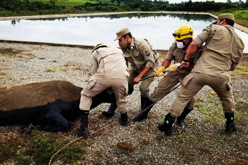 Vaca cai em lago de dejetos em Estação de Tratamento, em Goiás