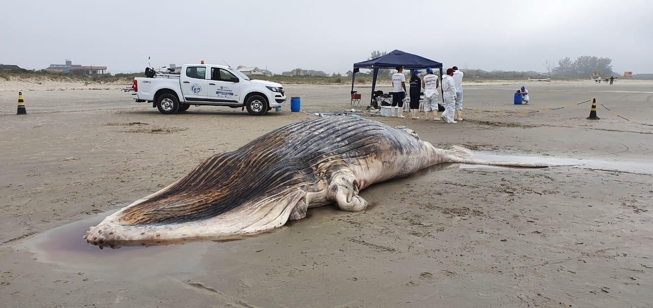 baleia jubarte Shangrilá