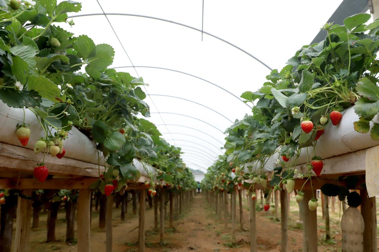 Cultivo em estufas e sobre bancadas garantem plantas mais resistentes e produção o ano todo. (Ari Dias).